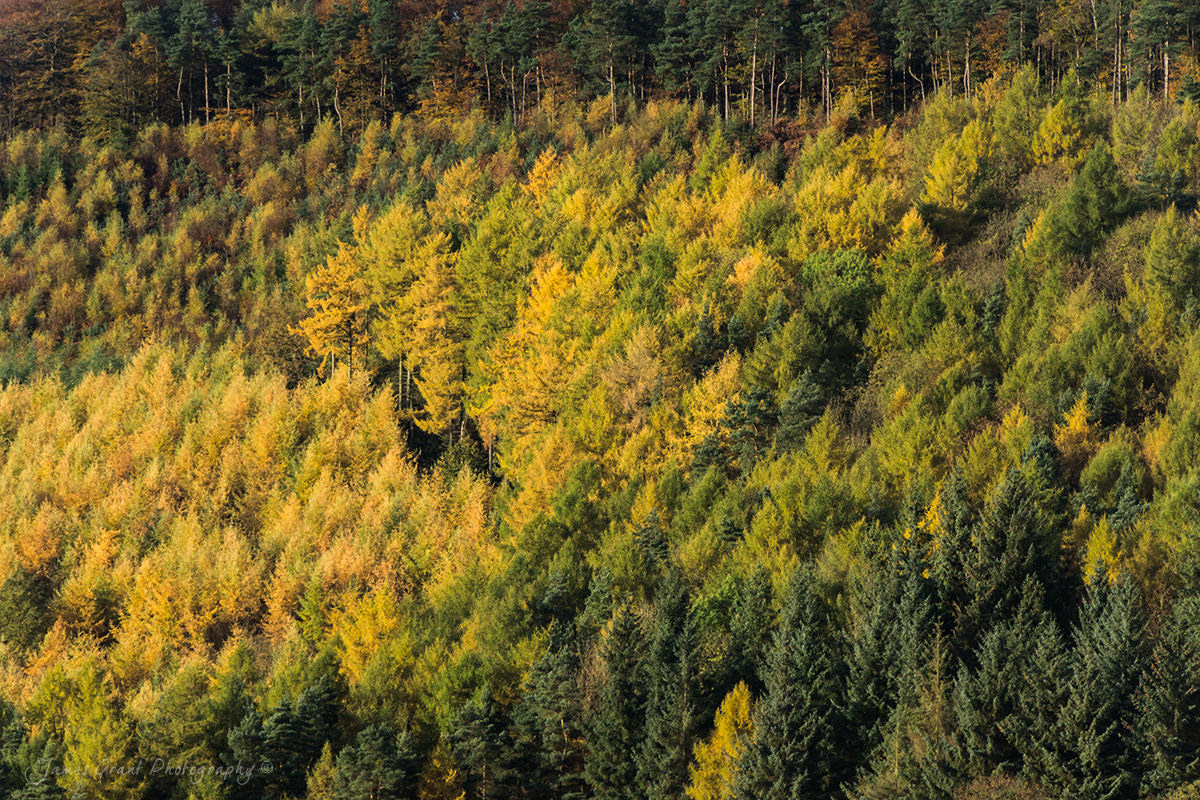 Chastworth Autumn Larches - Peak District Photography