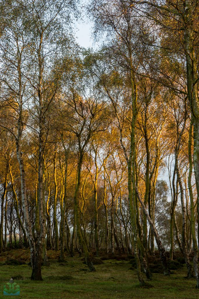 Stanton Moor Birch Trees - Autumn in the Peak District