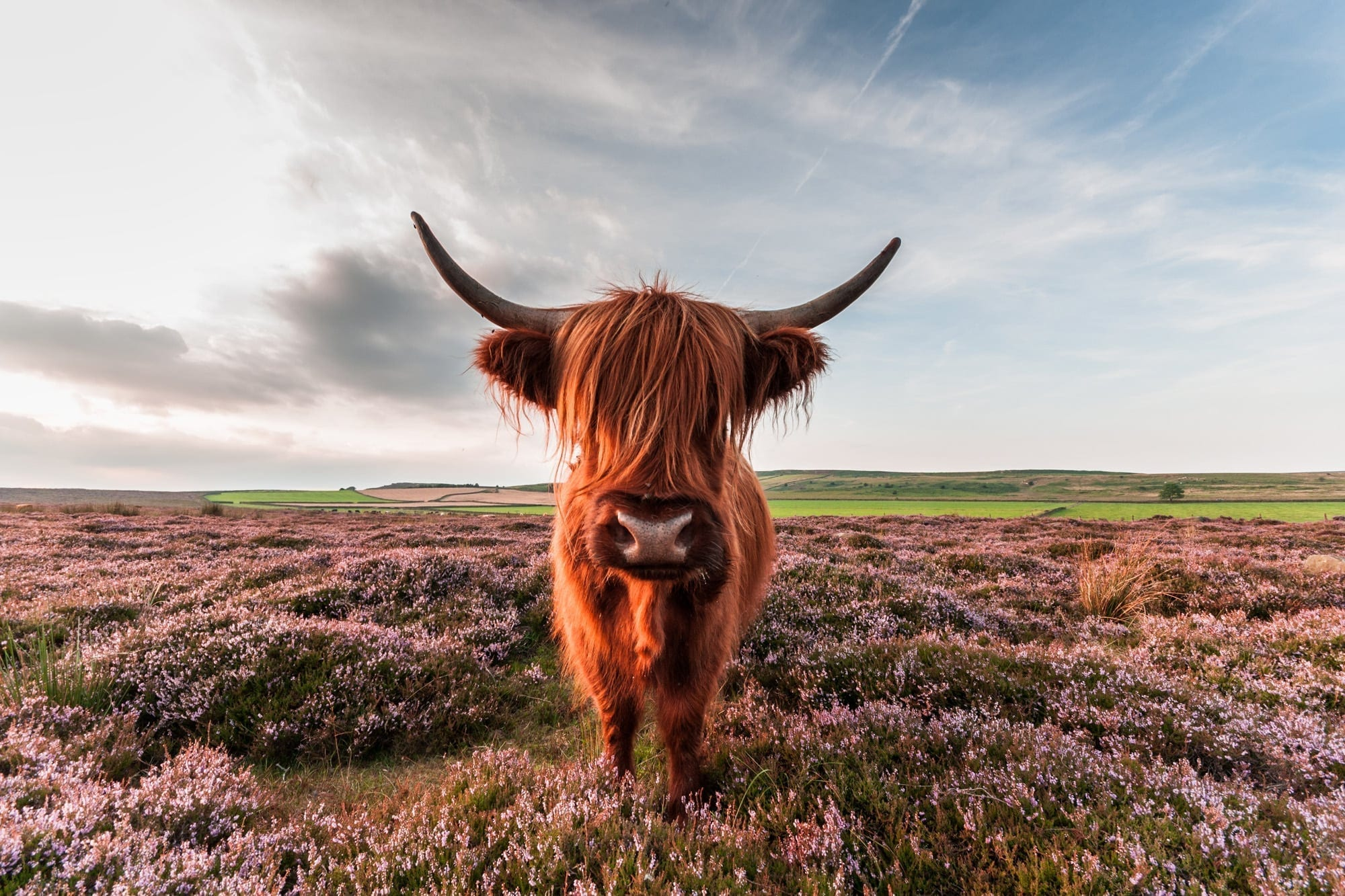 Are You Looking At Me? - Baslow Highland Cow - Peak District Photography
