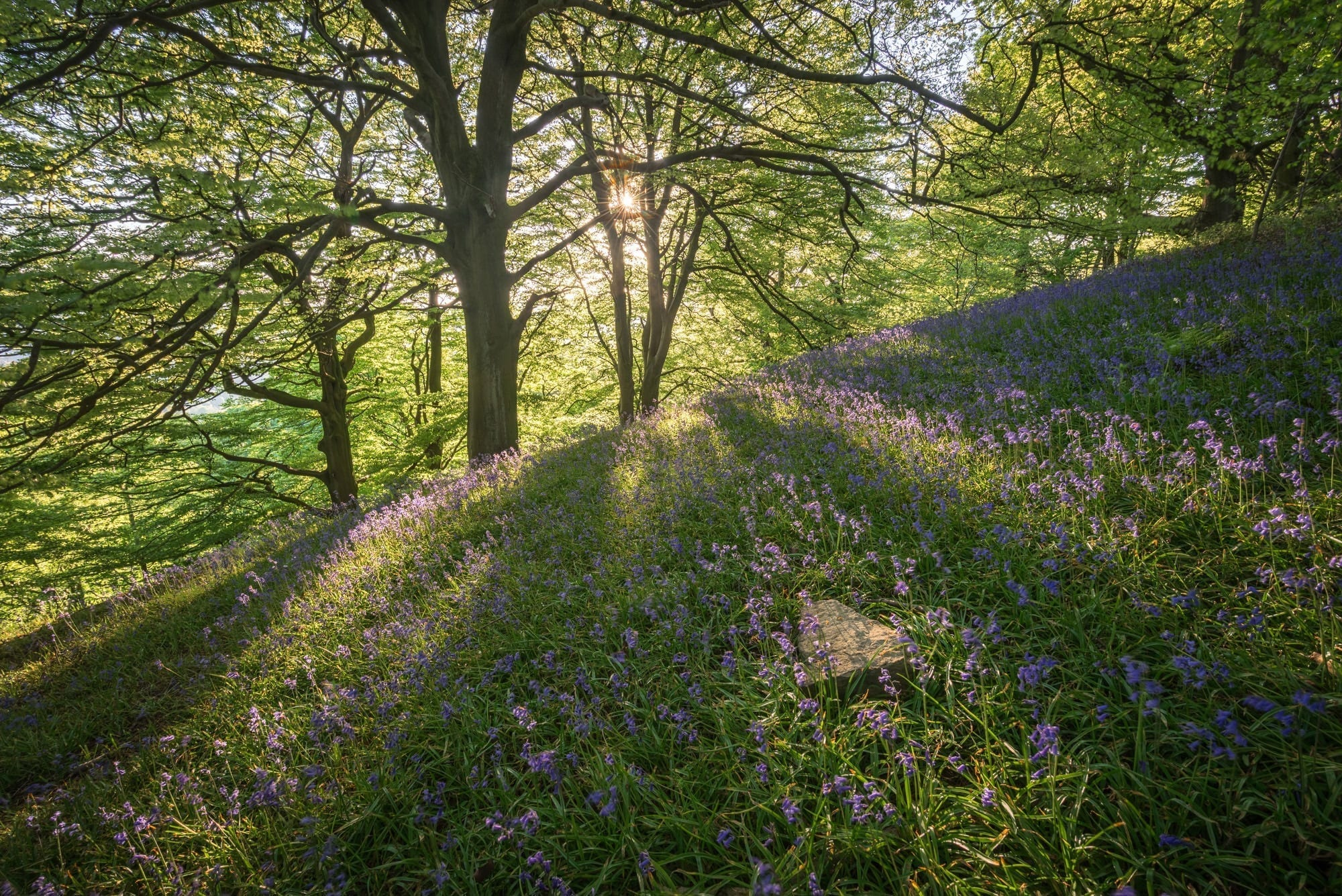 Bow Wood Bluebells - Peak District Photography