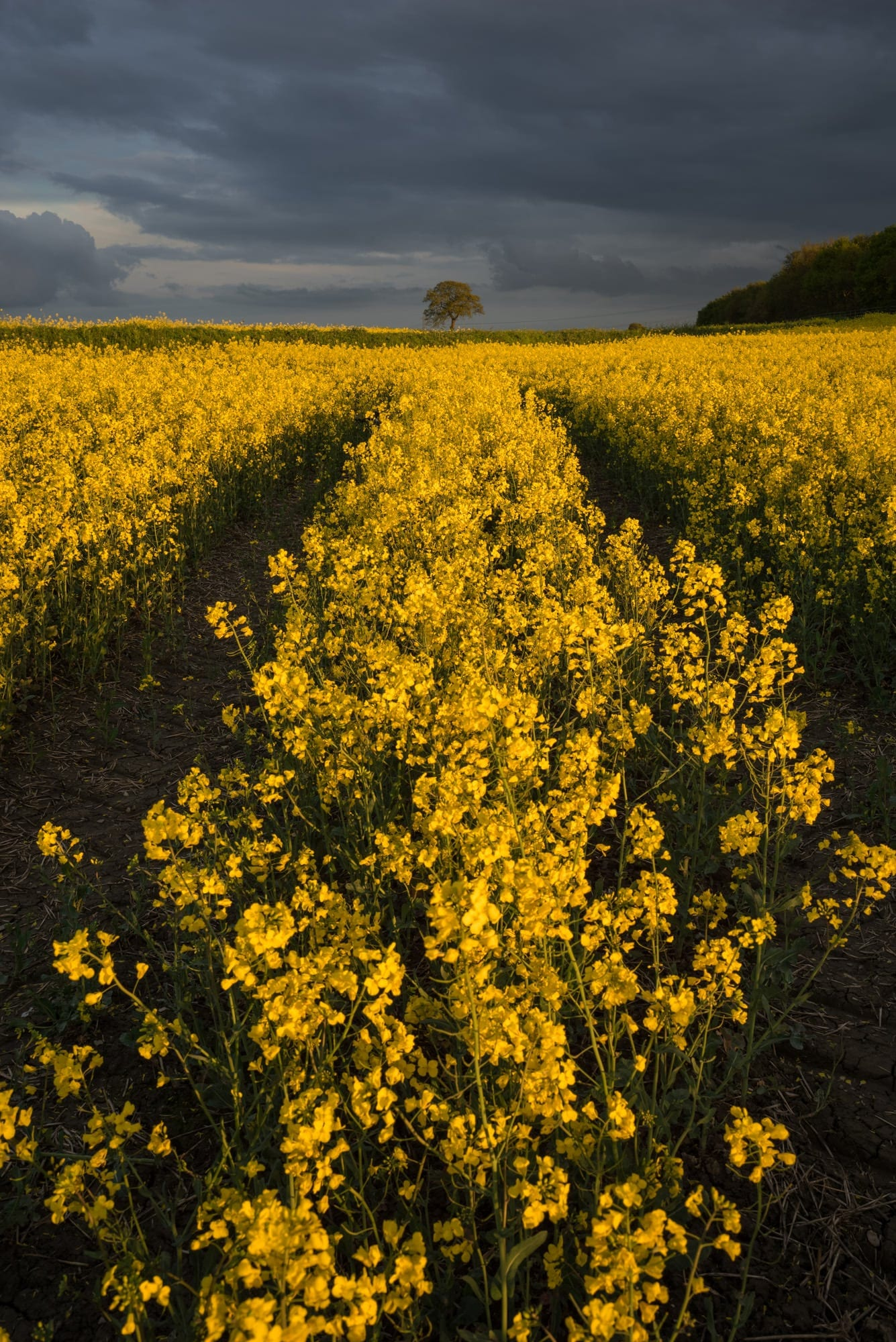 Rapeseed Field Sunset - Derbyshire Photography
