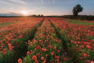 Watnall Poppies Sunset - Nottinghamshire Photography