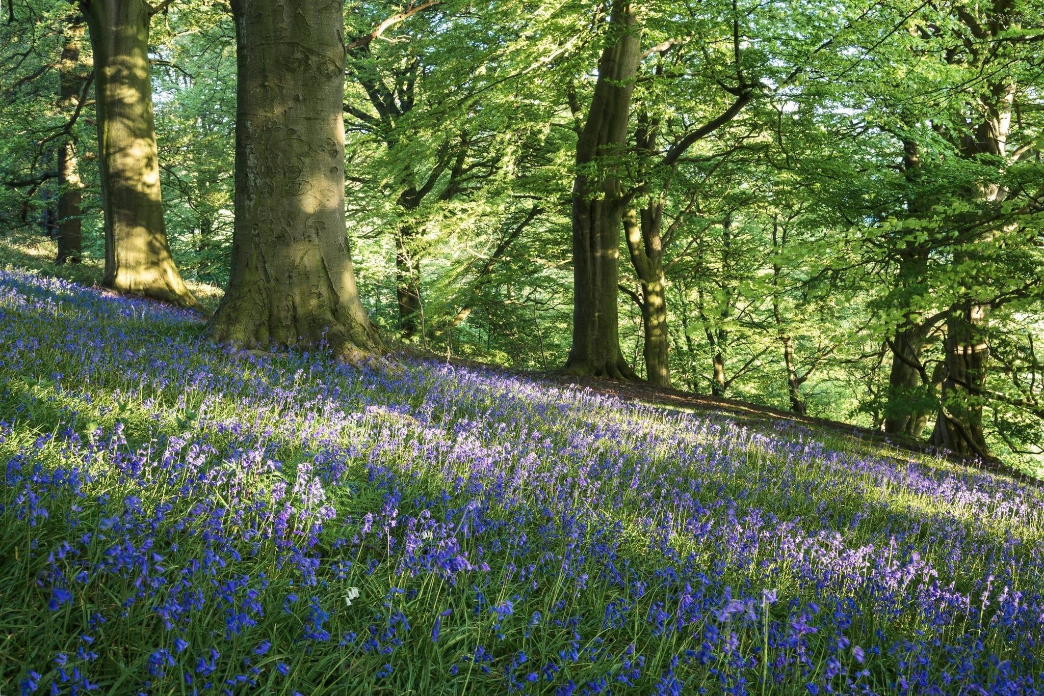 Bluebell Woods Sunset - Bluebells and Woodlands Photography Workshop