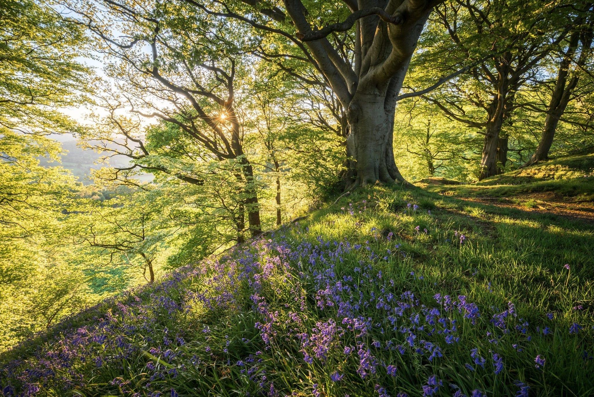 Bow Wood Bluebells Sunset - Bluebells and Woodlands Photography Workshop