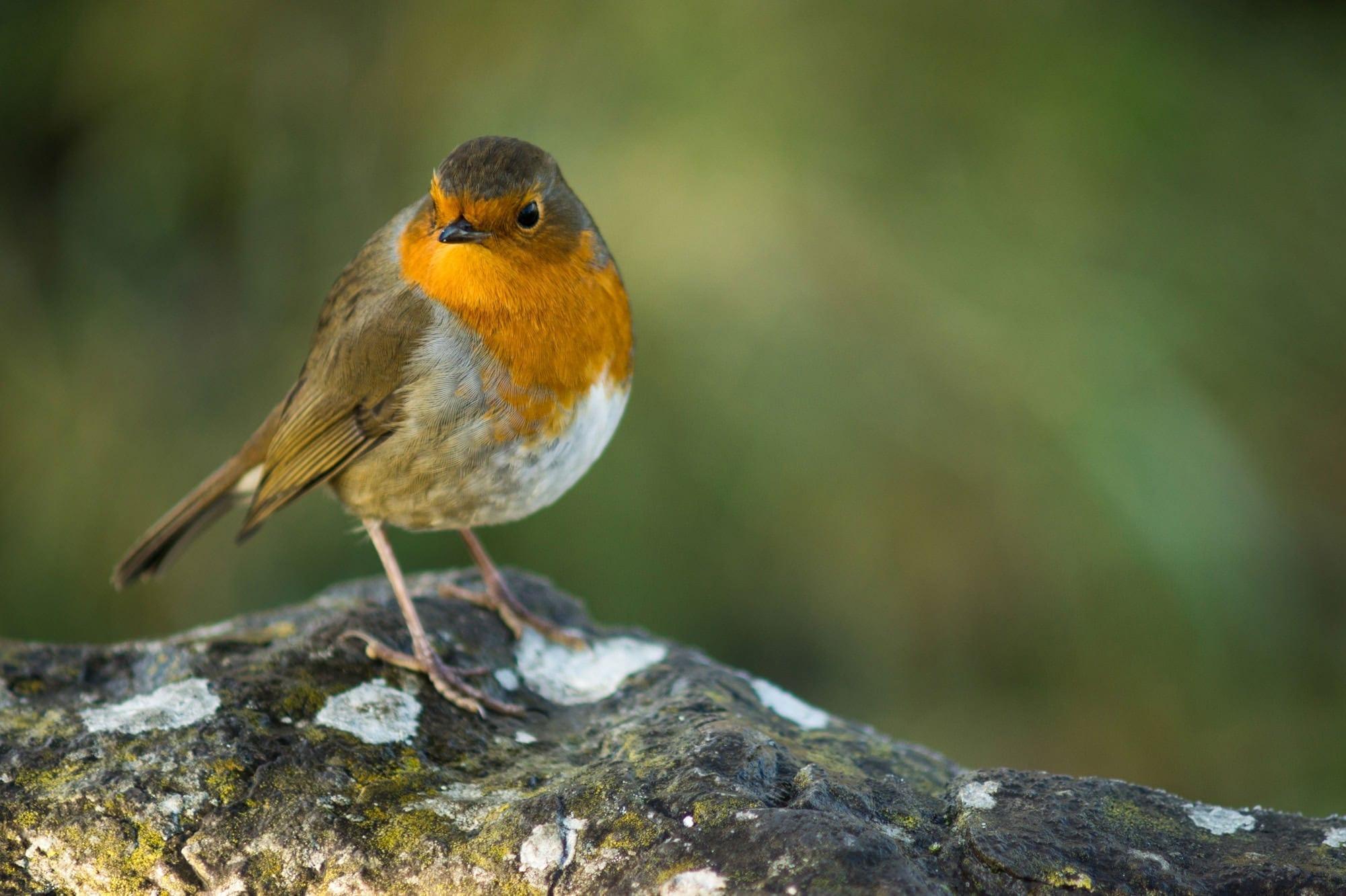 Robin - Wildlife Photography