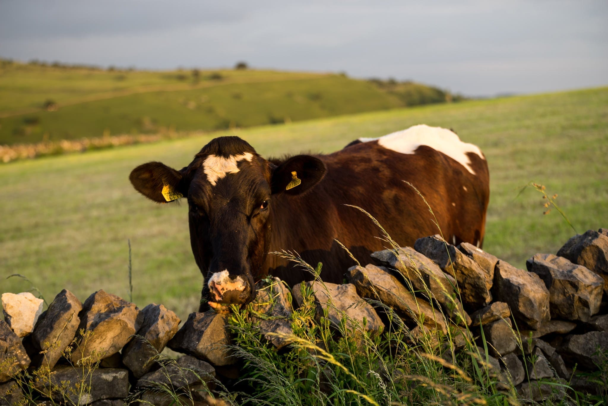 Littonfields Cow - Monsal and Tideswell Peak District Photography Workshop